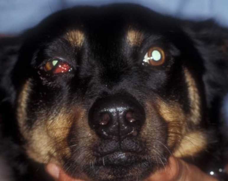 Retrobulbar Diseases in Dogs and Cats